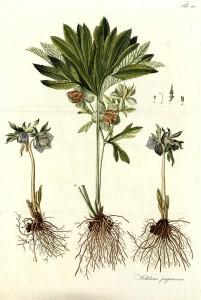 Helleboruspurpurascens