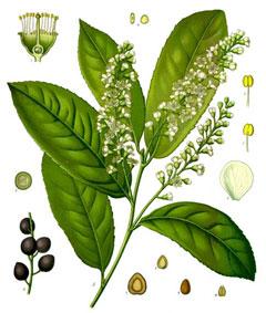 [Image: PrunusLaurocerasus.jpg]