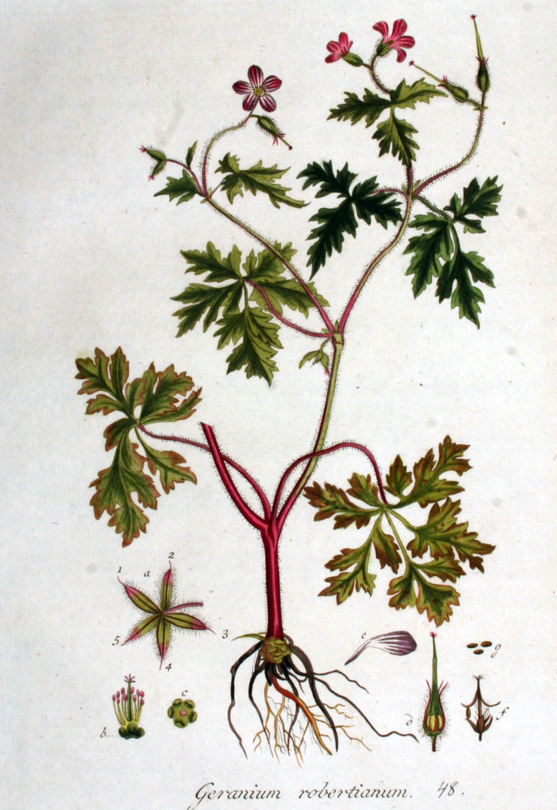 Voynich portal page 24 of 25 ruminations about the mysterious stinking cranes bill geranium robertianum is a widespread eurasian plant with red stems very intricate leaves red seeds and roots that are a little mightylinksfo
