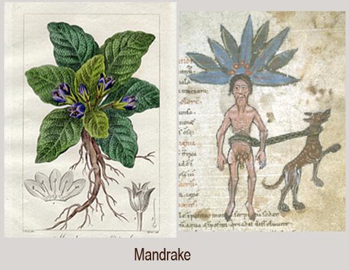 [Image: Mandrake.png]