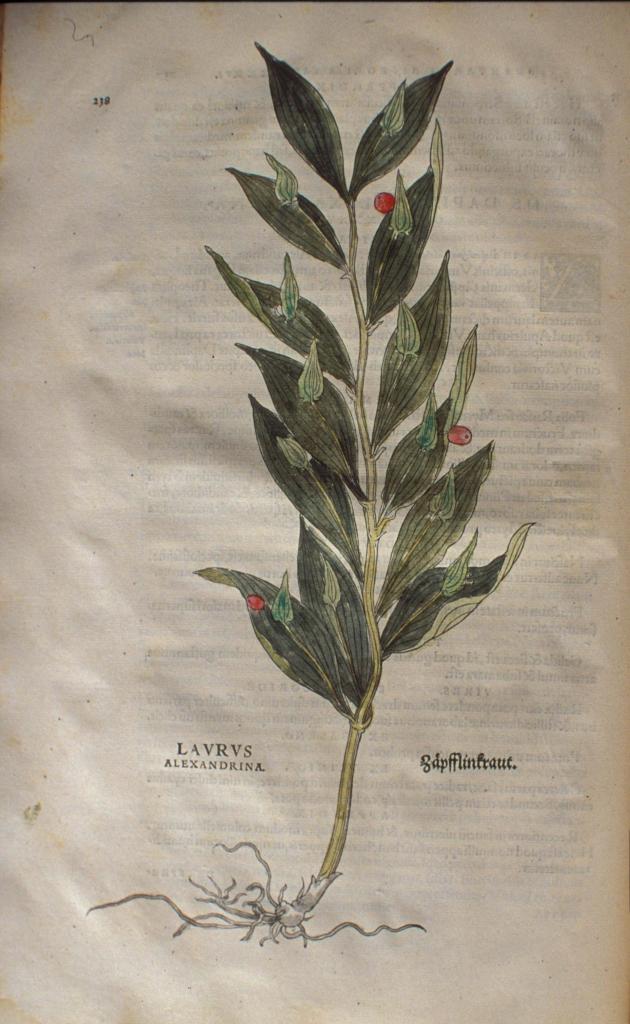 Botanical drawing of Alexandrina laurel, Ruscus hypoglossum.