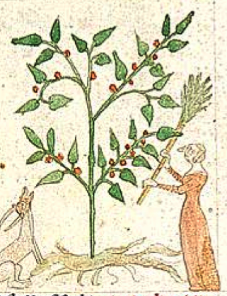 Ruscus plant and woman with broom.