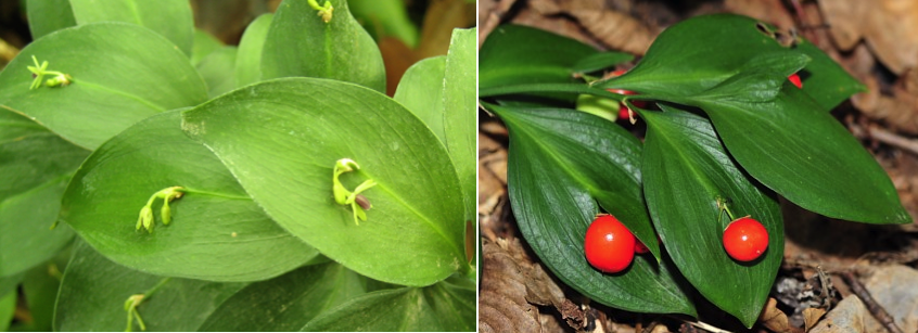 Ruscus species flower and berry