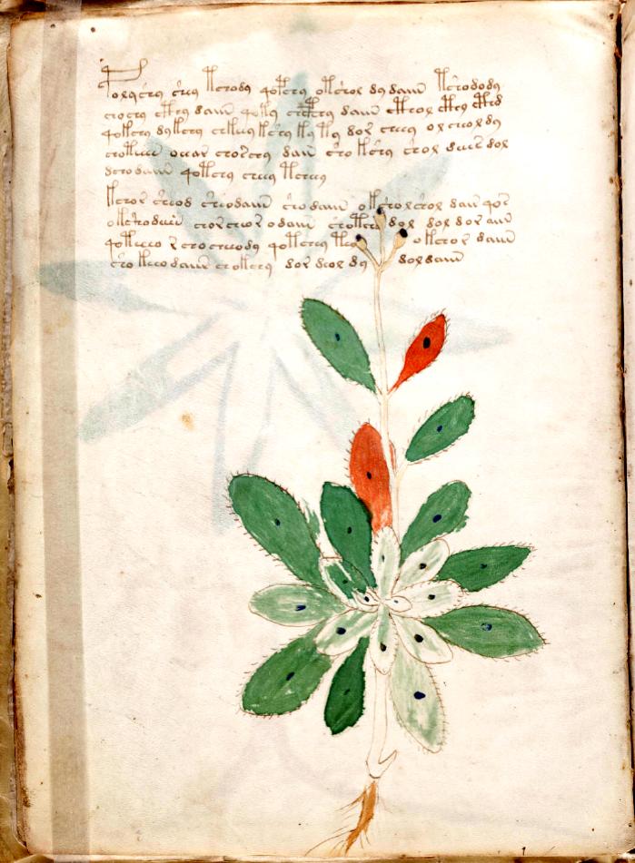 Voynich Manuscript Plant 7r