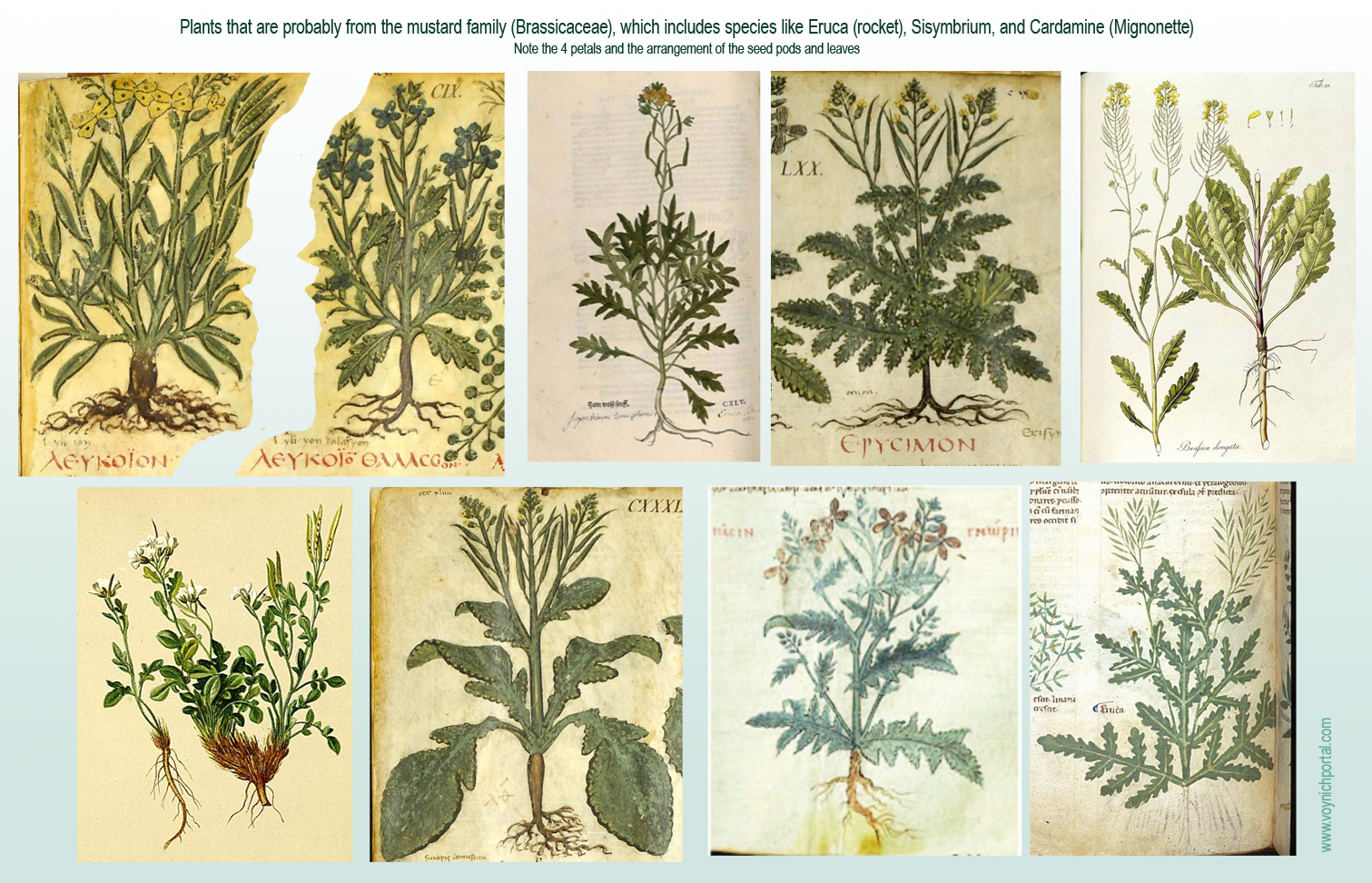 [Image: BrassicaRocket.png]
